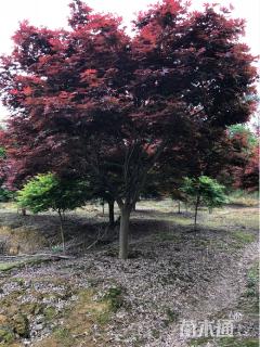 15公分红枫