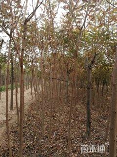 原生苗火炬树