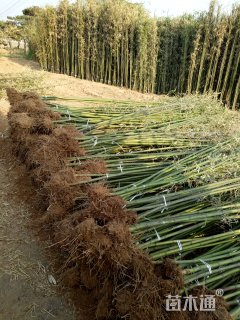 2公分竹子