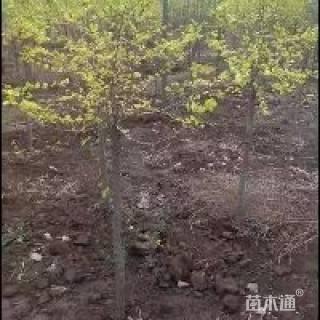 5公分金叶榆