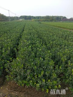 高度60厘米大叶黄杨小苗