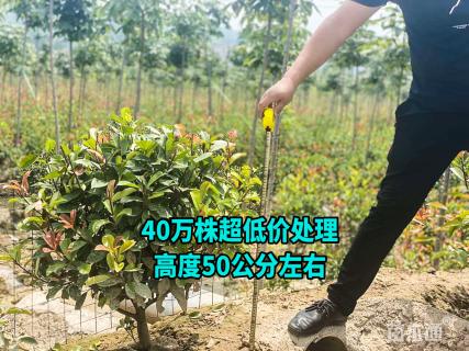 冠幅100厘米红叶石楠球