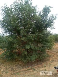 高度450厘米丛生五角枫