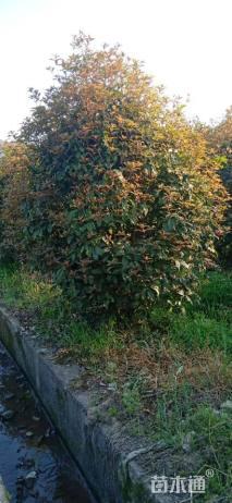 高度200厘米丛生桂花