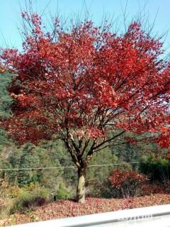10公分红枫