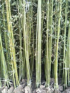 2公分早园竹