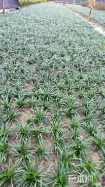 高度10厘米玉龙草