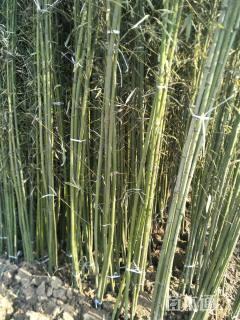 3公分早园竹
