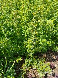 高度50厘米黄刺玫