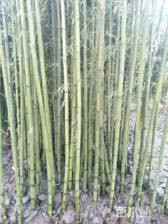地栽苗早园竹