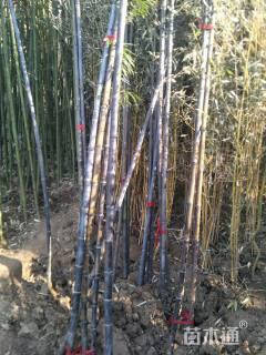 地栽苗3公分紫竹