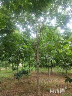 12公分七叶树