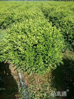 冠幅120厘米瓜子黄杨球