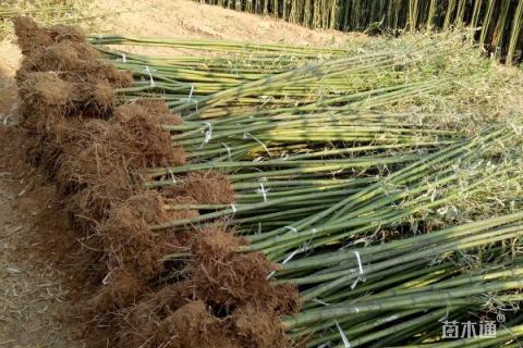 高度280厘米竹子