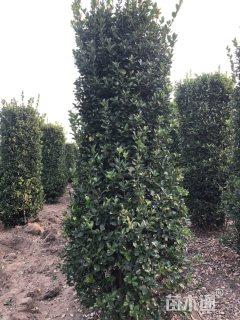 高度300厘米大叶黄杨柱