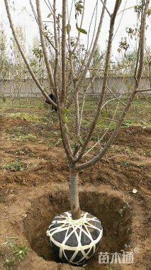 高度300厘米樱桃
