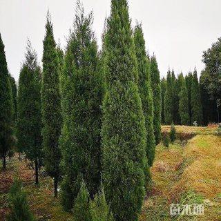 高度400厘米广西龙柏苗木