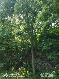 18公分七叶树