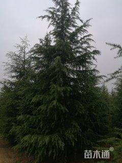 移栽苗九米雪松,全国最大雪松基地
