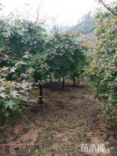 8公分日本红枫