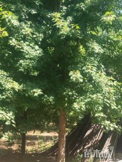 20公分美国红枫
