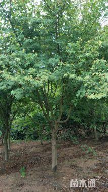 6公分鸡爪槭