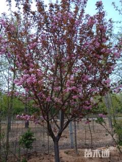 15公分15公分樱花,晚樱,早樱,樱花小苗,各种规格齐全!