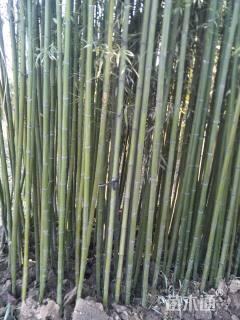 6公分早园竹