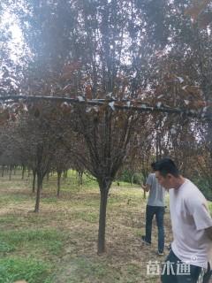 15公分紫叶李