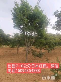 9公分日本红枫