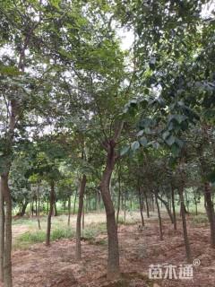 26公分朴树