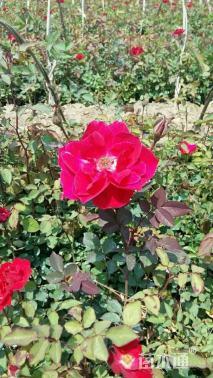 高度40厘米红花月季