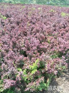 高度30厘米红叶小檗