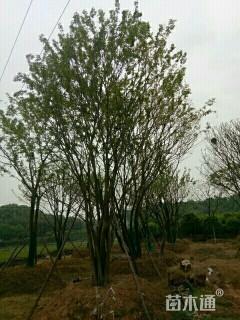 120公分朴树