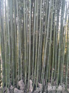 地栽苗2公分早园竹