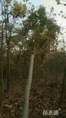12公分定杆栾树
