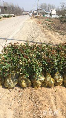 高度40厘米红叶石楠小苗