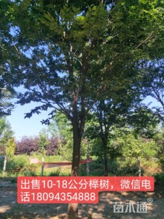 15公分榉树