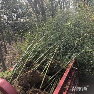 高度200厘米竹子