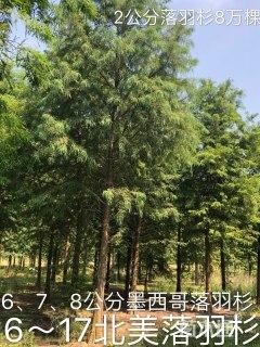 16公分落羽杉