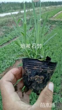 高度15厘米地被石竹