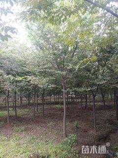 10公分榉树