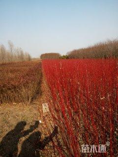 40厘米大量出售红瑞木,小叶扶芳藤