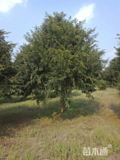 25公分红豆杉