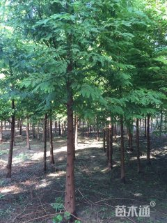 8公分水杉