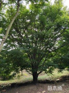 30公分鸡爪槭