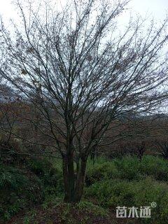 40公分鸡爪槭