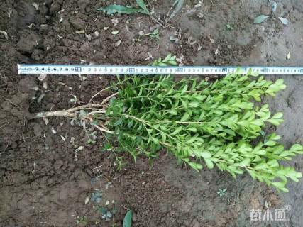 高度50厘米小叶黄杨