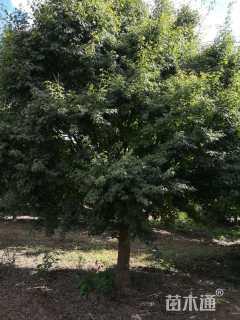 18公分鸡爪槭