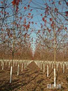 10公分美国红枫